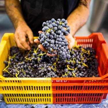 Vendanges en Pyrénées-Orientales